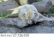 Купить «canada weiss weiß polar bear», фото № 27726035, снято 20 апреля 2019 г. (c) PantherMedia / Фотобанк Лори