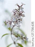 Купить «tea weiss weiß aloysia citrodora», фото № 27730635, снято 20 апреля 2019 г. (c) PantherMedia / Фотобанк Лори