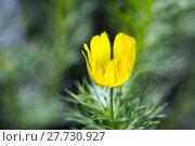 Купить «adonis vernalis adonisröschen frühlingsadonis frühlingsadonisröschen», фото № 27730927, снято 25 мая 2018 г. (c) PantherMedia / Фотобанк Лори