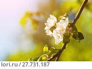 Купить «Spring apple flowers in the garden under sunlight, spring flower background. Apple tree branch with blooming white flowers in sunny weather», фото № 27731187, снято 4 июня 2017 г. (c) Зезелина Марина / Фотобанк Лори