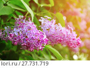 Купить «Pink lilac flowers in blossom - soft filter applied», фото № 27731719, снято 17 мая 2016 г. (c) Зезелина Марина / Фотобанк Лори