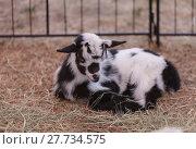 Купить «Black and white baby Nigerian dwarf goat», фото № 27734575, снято 19 февраля 2020 г. (c) PantherMedia / Фотобанк Лори