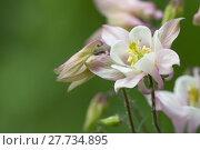 Купить «pink akeleien aquilegia hahnenfußartige hahnenfußgewächse», фото № 27734895, снято 20 апреля 2019 г. (c) PantherMedia / Фотобанк Лори