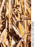 Купить «food agriculture farming corn drought», фото № 27737643, снято 17 июня 2019 г. (c) PantherMedia / Фотобанк Лори