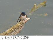 Купить «Barn swallow lakefront», фото № 27740259, снято 24 марта 2019 г. (c) PantherMedia / Фотобанк Лори