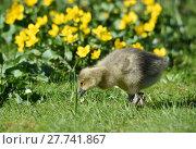 Купить «chick goose brant graugans graugansküken», фото № 27741867, снято 27 мая 2019 г. (c) PantherMedia / Фотобанк Лори