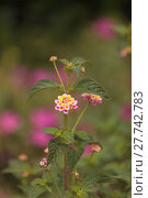Купить «Yellow and pink flowers on butterfly bush Lantana camara», фото № 27742783, снято 25 марта 2019 г. (c) PantherMedia / Фотобанк Лори