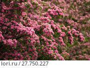 Купить «Flowers pink hawthorn. Tree pink hawthorn», фото № 27750227, снято 26 мая 2019 г. (c) PantherMedia / Фотобанк Лори