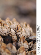 Купить «Gooseneck barnacle Pollicipes polymerus clusters», фото № 27759967, снято 22 марта 2019 г. (c) PantherMedia / Фотобанк Лори