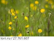 Купить «Yellow buttercup meadow», фото № 27761607, снято 20 марта 2019 г. (c) PantherMedia / Фотобанк Лори
