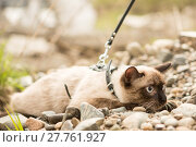 Купить «Beautiful cat, Siamese, with blue eyes lies», фото № 27761927, снято 21 сентября 2018 г. (c) PantherMedia / Фотобанк Лори