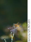 Купить «closeup branch insect dragonfly filigree», фото № 27767231, снято 21 марта 2019 г. (c) PantherMedia / Фотобанк Лори