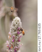 Купить «Honeybee, Hylaeus, gathers pollen », фото № 27769635, снято 5 июля 2020 г. (c) PantherMedia / Фотобанк Лори