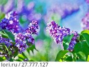 Купить «Green branch with spring lilac flowers», фото № 27777127, снято 23 мая 2018 г. (c) PantherMedia / Фотобанк Лори