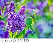 Купить «Green branch with spring lilac flowers», фото № 27777135, снято 23 мая 2018 г. (c) PantherMedia / Фотобанк Лори