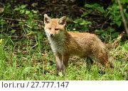 Купить «young fox», фото № 27777147, снято 22 марта 2019 г. (c) PantherMedia / Фотобанк Лори
