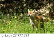 Купить «young fox», фото № 27777791, снято 22 марта 2019 г. (c) PantherMedia / Фотобанк Лори