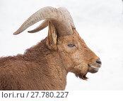 Купить «Горный баран», фото № 27780227, снято 20 февраля 2015 г. (c) Галина Савина / Фотобанк Лори