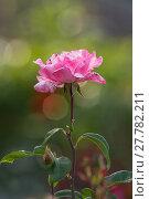 Купить «wilting pink rose / rose», фото № 27782211, снято 26 мая 2018 г. (c) PantherMedia / Фотобанк Лори