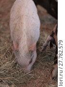 Купить «Pink pig known as a Gottingen minipig», фото № 27782579, снято 25 мая 2019 г. (c) PantherMedia / Фотобанк Лори