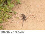 Купить «Brown common fence lizard, Sceloporus occidentalis, perches on the edge of a burrow », фото № 27787287, снято 25 марта 2019 г. (c) PantherMedia / Фотобанк Лори