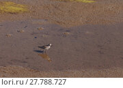 Купить «Snowy plover, Charadrius nivosus, forages for food », фото № 27788727, снято 18 июня 2019 г. (c) PantherMedia / Фотобанк Лори