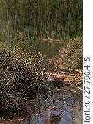 Купить «Great blue heron bird, Ardea herodias, in the wild, in a lake», фото № 27790415, снято 20 февраля 2019 г. (c) PantherMedia / Фотобанк Лори