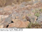 Купить «White crowned sparrow, Zonotrichia leucophrys, perches among the brush at the wildlife preserve of Bolsa Chica in Huntington Beach, California, United States», фото № 27790419, снято 25 марта 2019 г. (c) PantherMedia / Фотобанк Лори