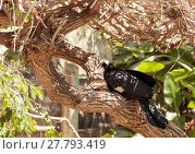 Купить «Blue throated piping guan bird Pava goliazul perches in a tree over a pond. », фото № 27793419, снято 25 марта 2019 г. (c) PantherMedia / Фотобанк Лори
