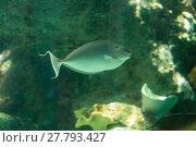 Купить «Bluespine unicornfish Naso unicornis is found on coral reefs in a tropical habitat of the ocean.», фото № 27793427, снято 24 января 2019 г. (c) PantherMedia / Фотобанк Лори