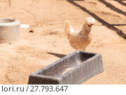 Купить «Black, buff, brown, and white chickens on a farm outside a chicken coop pecking and foraging for food.», фото № 27793647, снято 22 апреля 2019 г. (c) PantherMedia / Фотобанк Лори