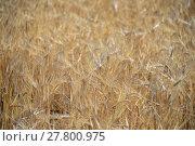 Купить «cornfield in spain», фото № 27800975, снято 20 октября 2018 г. (c) PantherMedia / Фотобанк Лори