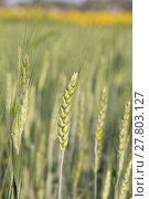 Купить «Green barley growing in a field», фото № 27803127, снято 21 мая 2018 г. (c) PantherMedia / Фотобанк Лори