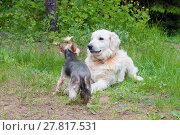 Купить «Две собаки - золотистый ретивер и йоркширский терьер на прогулке», фото № 27817531, снято 5 июня 2016 г. (c) Татьяна Белова / Фотобанк Лори
