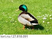 Купить «Single male mallard duck walking in grass», фото № 27818091, снято 19 июня 2019 г. (c) PantherMedia / Фотобанк Лори