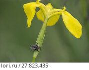 Купить «Yellow Iris with Wild Bee», фото № 27823435, снято 16 июля 2019 г. (c) PantherMedia / Фотобанк Лори