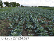 Купить «Cabbage field», фото № 27824627, снято 17 июня 2019 г. (c) PantherMedia / Фотобанк Лори