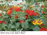 Купить «colorful flowers», фото № 27827427, снято 19 июня 2018 г. (c) PantherMedia / Фотобанк Лори
