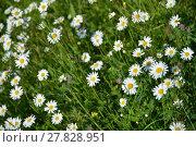Купить «daisies splendor», фото № 27828951, снято 18 января 2019 г. (c) PantherMedia / Фотобанк Лори