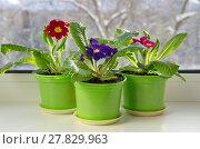 Купить «Горшочки с разноцветными примулами (лат. Primula vulgaris) на подоконнике», фото № 27829963, снято 14 февраля 2018 г. (c) Елена Коромыслова / Фотобанк Лори