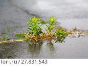 Купить «Weed growing pavement cracks», фото № 27831543, снято 22 июля 2018 г. (c) PantherMedia / Фотобанк Лори