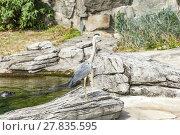 Купить «heron stands at a rock», фото № 27835595, снято 26 июня 2019 г. (c) PantherMedia / Фотобанк Лори