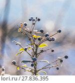 Купить «detail of frozen blue berry», фото № 27836395, снято 19 марта 2019 г. (c) PantherMedia / Фотобанк Лори