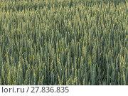 Купить «corn field in detail», фото № 27836835, снято 22 августа 2018 г. (c) PantherMedia / Фотобанк Лори