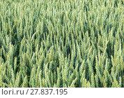 Купить «corn field with spica in detail», фото № 27837195, снято 26 июня 2019 г. (c) PantherMedia / Фотобанк Лори