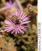 Купить «Honeybee Apis mellifera gathers nectar», фото № 27838135, снято 5 июля 2020 г. (c) PantherMedia / Фотобанк Лори