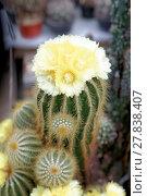 Купить «Blühender Notokaktus (Notocactus spec)», фото № 27838407, снято 24 июня 2019 г. (c) PantherMedia / Фотобанк Лори