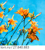 Купить «bush with fresh flowers of orange lily outdoors», фото № 27840883, снято 7 августа 2020 г. (c) PantherMedia / Фотобанк Лори