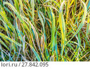Купить «Closeup of green frozen grass in the late fall», фото № 27842095, снято 19 марта 2019 г. (c) PantherMedia / Фотобанк Лори