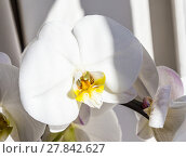 Купить «Flowers of white orchidFlowers of white orchid», фото № 27842627, снято 19 ноября 2018 г. (c) PantherMedia / Фотобанк Лори